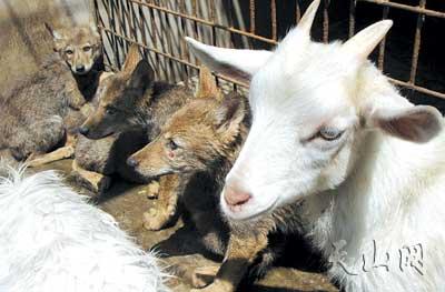 园就有3只可爱的小山羊与5只小灰狼共处一舍一起成长
