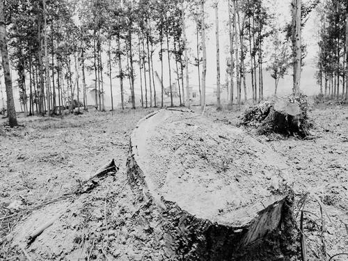 中国 防护林/洛水之滨乱砍滥伐触目惊心800亩防护林惨遭荼毒