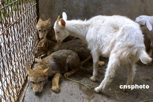 这些小家伙都由山羊妈妈的奶水喂养长大,两个多月的嬉戏玩耍使它们