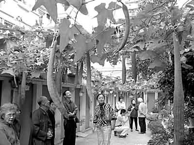 香椿树郁郁葱葱,梧桐树遮天蔽日.