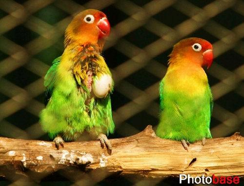 """济南动物园内,一只绿鹦鹉胸前""""抱""""着一只蛋在晒太阳,令游客么感到十分"""