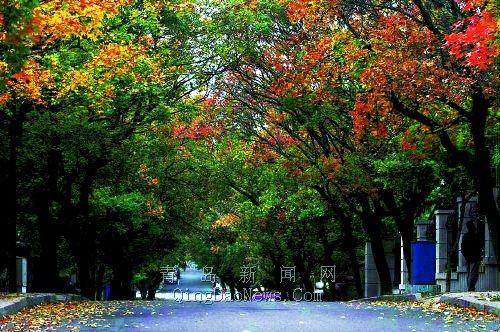 八大关风景区里各种树叶五彩斑斓像一块巨大的调色板; 岛城金秋五彩
