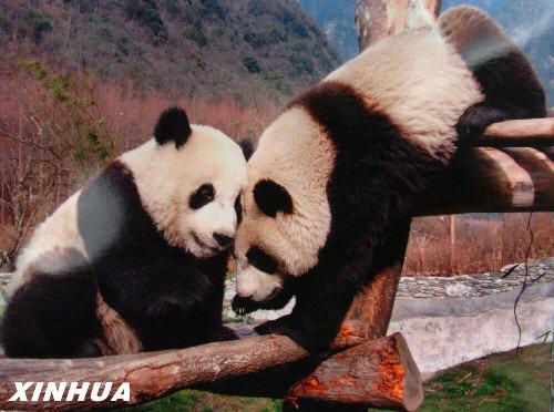 国家林业局今天宣布两只赴台大熊猫今天确定