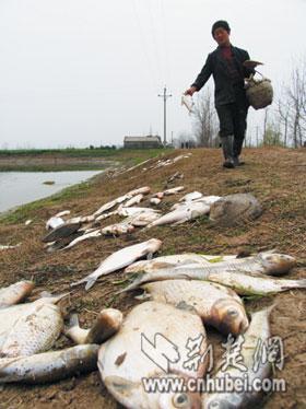 """警方调查仙桃鱼塘被""""封氧""""已死鱼2万多公斤"""