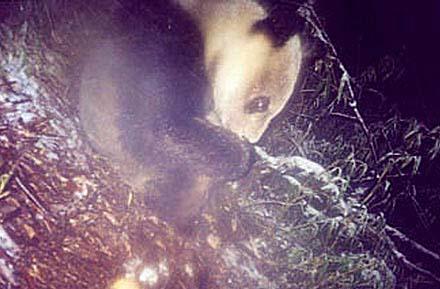 中国首次拍摄到野生大熊猫在野外生活照片(图)
