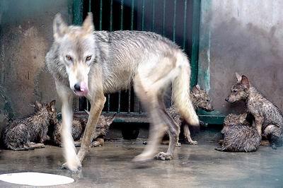 郑州圈养狼产下五狼崽