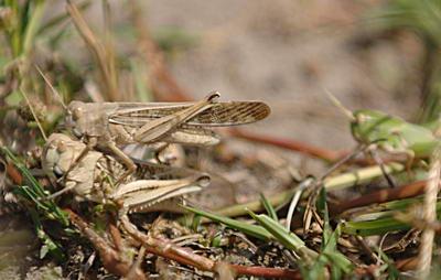 蝗虫是什么动物