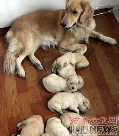 zooskool八狗一女-长春的小王养了一只叫Kitty的黄金五世金毛犬,最近生了8个狗宝宝,