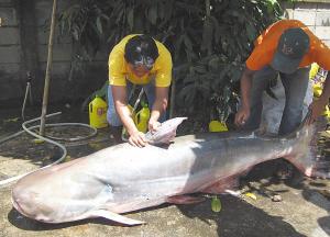 特大号泰国猫鱼(大家拍世界)