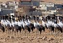 全球第一大黑颈鹤越冬地