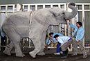 口腔专家给9岁大象补牙