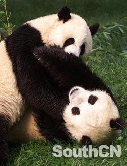 两只猪睡觉的照片套路-盛顿动物园资料图片)-相处15月首次求爱粗暴坏事 旅美熊猫仔失恋了