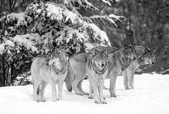 德国出台 引进 野狼计划 吸引野狼前来定居