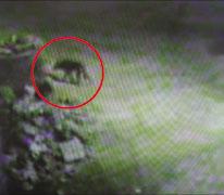 录像 浮山/2月17日凌晨,一只野狼模样的动物到浮山半坡上的青岛市浮山大...