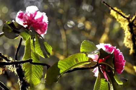 图文:盛开中的大树杜鹃王