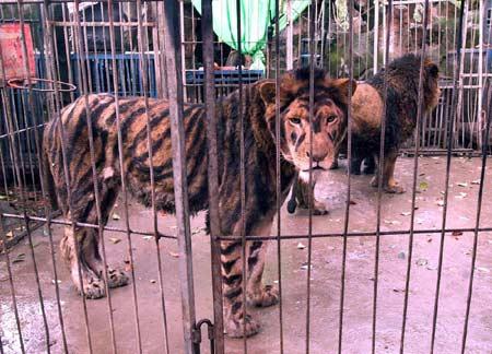 中只有狮子没有老虎,展出团竟突发奇想:给非洲狮化妆