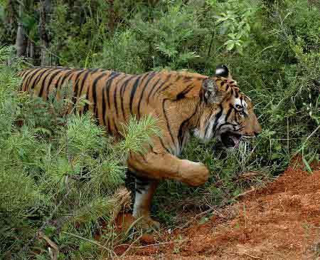 动物表演场,一只老虎