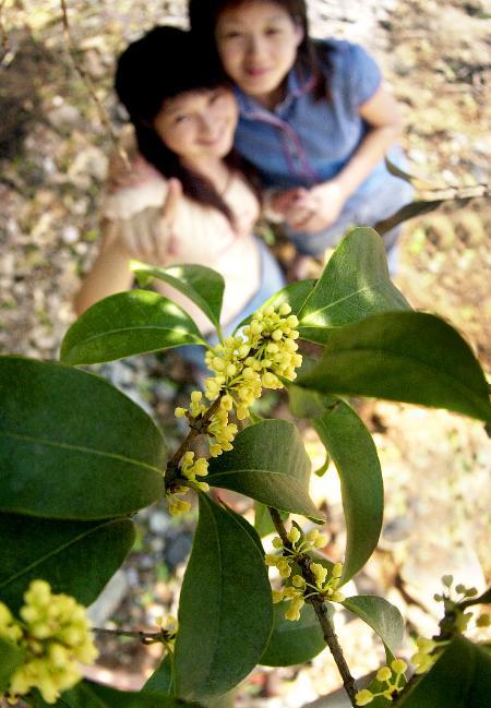 近日,杭州植物园里的几棵桂花树纷纷吐出清香的花朵.