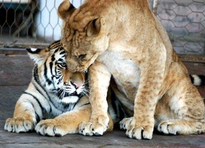 图文:济南动物园撮合狮虎恋