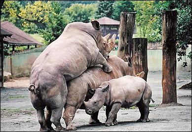 图文:动物园里的犀牛一家三口