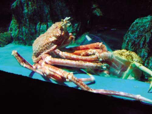 """目击高脚蟹""""脱胎换骨"""" 这种巨型深海甲壳类动物在老虎"""