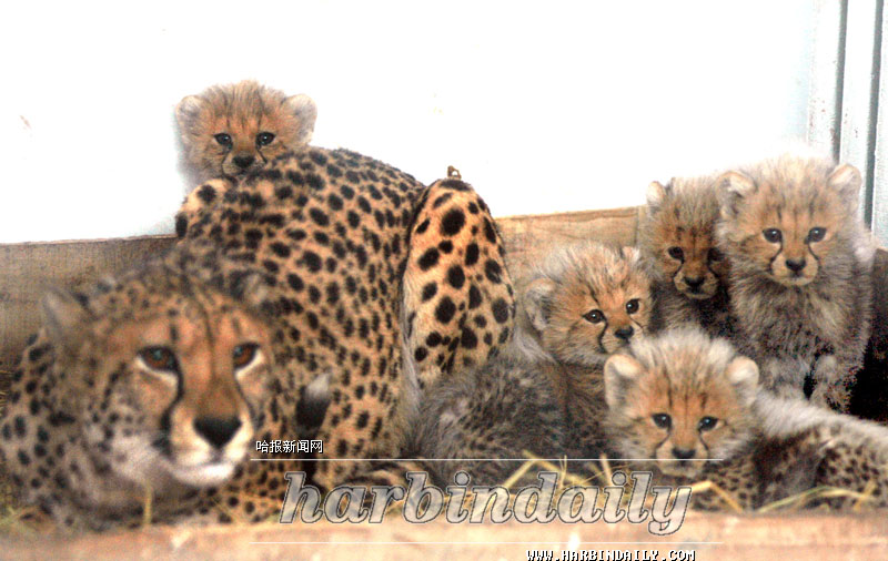 小猎豹; 很可爱的图;