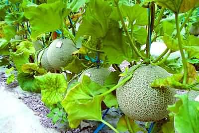甜瓜有机肥种植技术