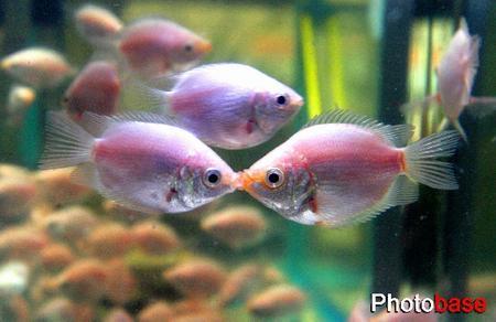 图文:接吻鱼南京上市
