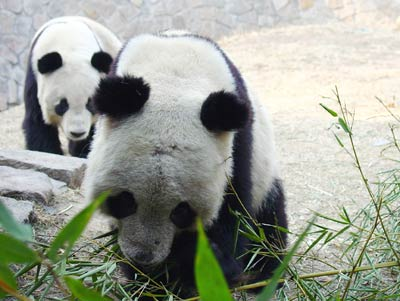 雄性大熊猫过于粗暴导致雌雄熊猫圆房失败(图)