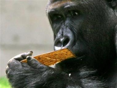 图文:吃面包的银背雄猩猩