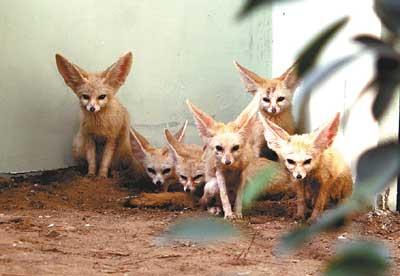 非洲耳廓狐亮相北京动物园(图)