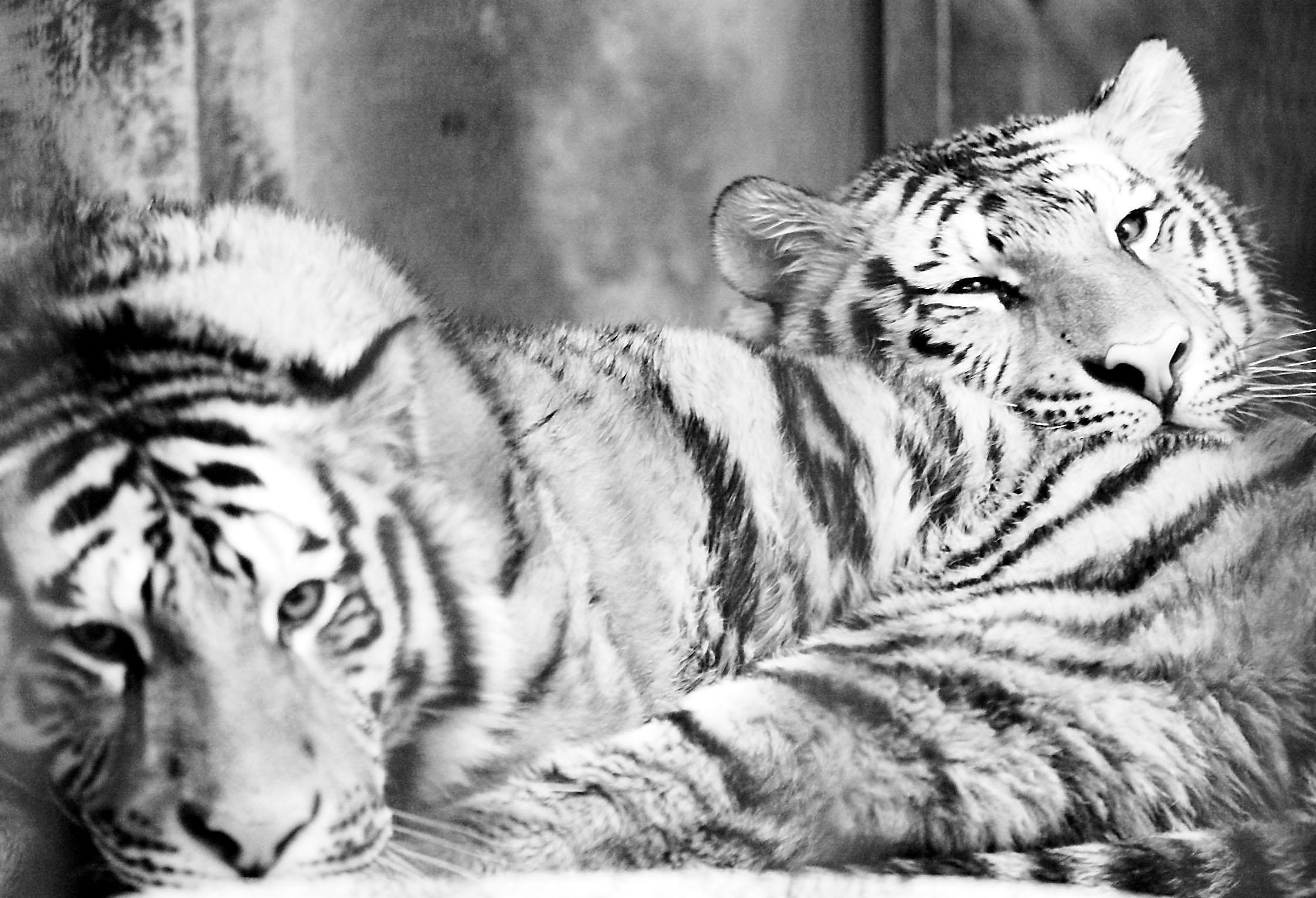 小东北虎,小河马,小金丝猴也可以与游人见面了,活泼可爱的它们为大家