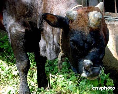 三角双鼻公牛在动物园圈内吃饲料.