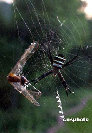 组图:酷似人面蜘蛛在网上写英文字母