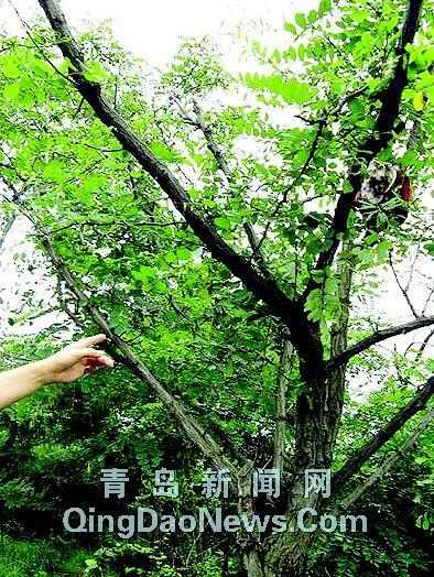 不明不白吊挂在山头树木骷髅猫裹衣惊现(图)