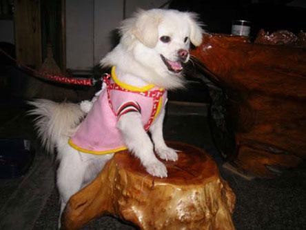 宠物狗造型,时装秀 欢迎宠友来报名