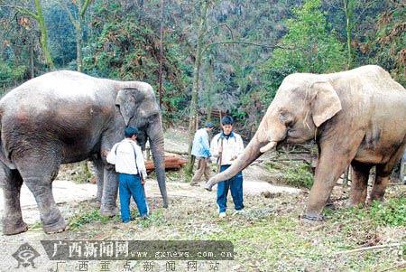 广西四川两省动物园为大象换亲(组图)
