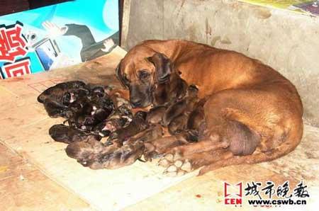 23只狗崽逼近吉尼斯纪录