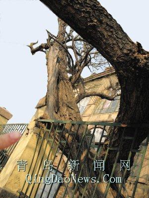 """大枯树""""挤对""""铁栏杆"""