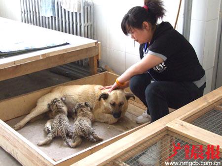 狗妈妈收留两只被遗弃的小虎崽(图)