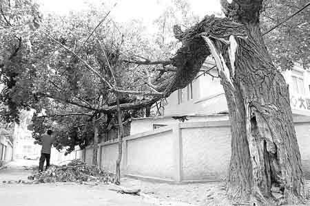 """""""大树是从树干腰部豁开了一个大口子,一枝树杈已经向北侧倒下去,树枝"""