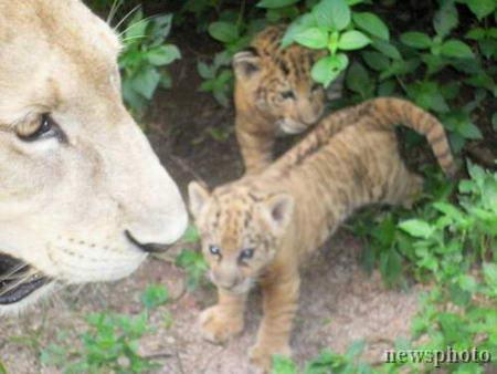 深圳动物园培育成功我国仅存的两只狮虎兽(图)