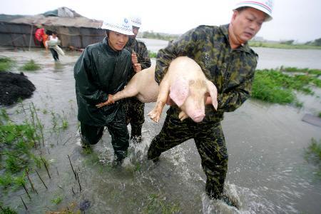 图文:温州市苍南县龙港镇的一家养猪场被水淹没