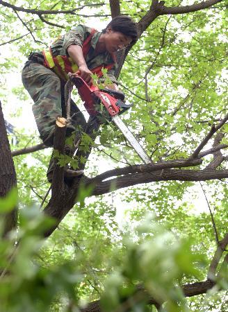 图文:北京市东城区园林工人在修剪树枝