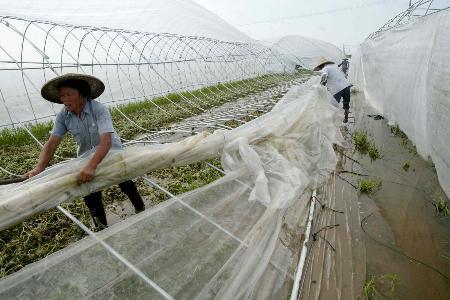 图文:上海菜农在整理严重受损的蔬菜大棚
