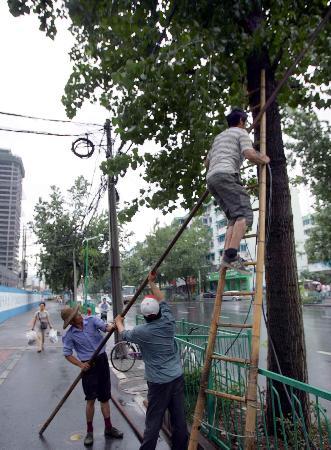 图文:园林工人在杭州市文二路上加固树木