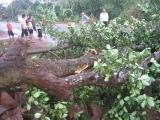 图文:广东徐闻台风将一棵大树吹倒