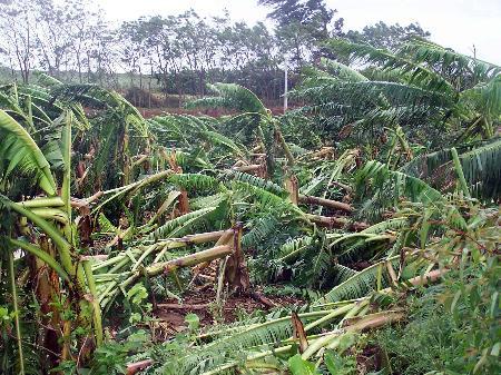 图文:广东徐闻连片的香蕉树被台风吹毁