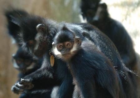 图文:一只小黑叶猴在东张西望