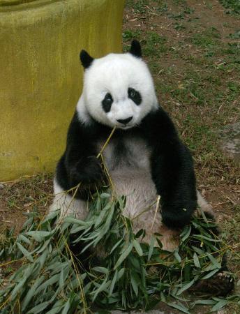 组图:亚运会吉祥物熊猫盼盼原型过百岁寿诞